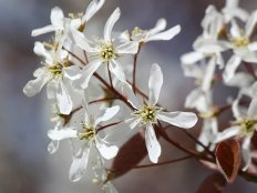 how_to_grow_an_amelanchier.jpg